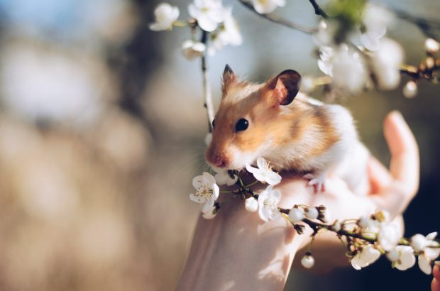 hamster-2013665.jpg